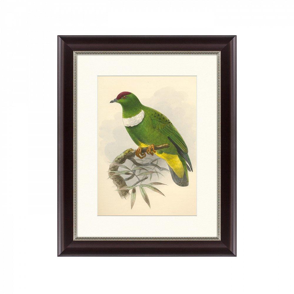 Картина: Белозобый пёстрый голубь, литография, 1870г